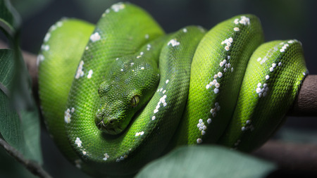 Green tree python snake on a branch with green leaves, Closeup to the eye photo