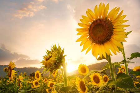 Closeup sunflower field photo