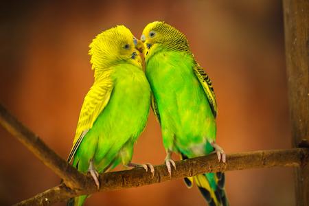 Budgerigar birds photo