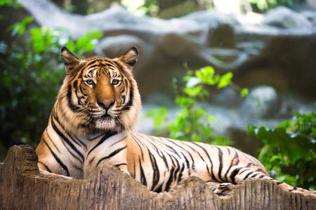 panthera tigris: Tiger walking