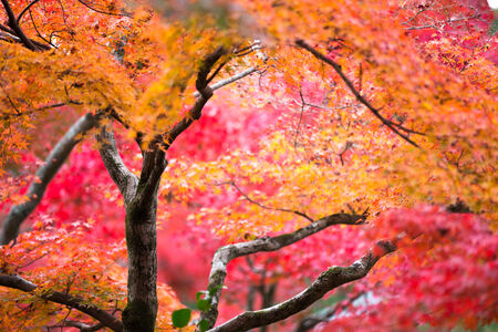 Red maple tree background photo