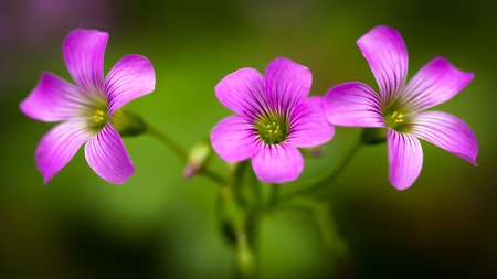 creeping woodsorrel: Closeup Pink oxalis oxalis corymbosa in garden