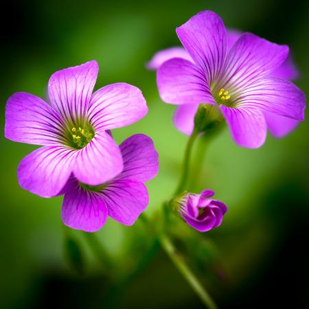 oxalis: Closeup Pink oxalis oxalis corymbosa in garden