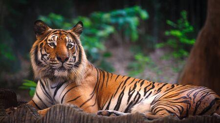 panthera tigris: Tiger