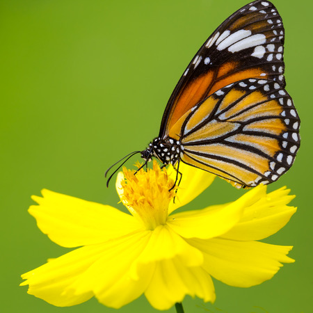 butterfly flower: Closeup butterfly on flower (Common tiger butterfly) Stock Photo