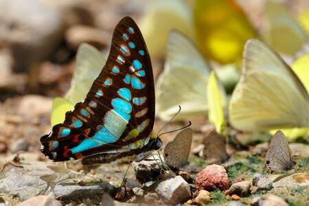 butterflys: Common Jay Graphium doson Butterfly drinking water with yellow butterflys in background