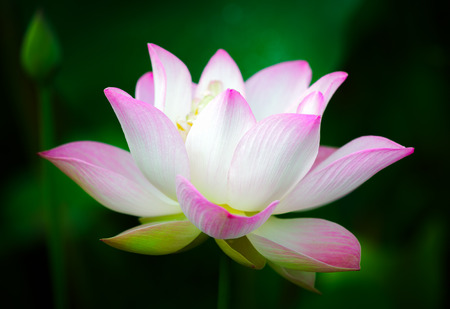 Beautiful pink lotus flower Фото со стока - 40725713