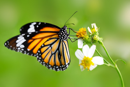 black and white flowers: Closeup butterfly on flower (Common tiger butterfly) Stock Photo