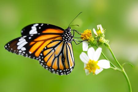 Nahaufnahme Schmetterling auf Blume (Common Tiger Schmetterling)