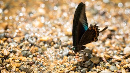 pieridae: Butterfly gathering water on floor, kaeng krachan national park, thailand Stock Photo
