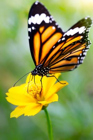 Close-up vlinder op bloem Gemeenschappelijke tijgervlinder
