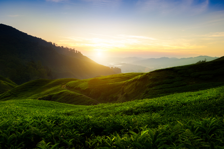 highland: Tea plantation in the morning, Cameron highlands, Malaysia
