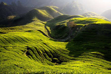 Tea plantation in the morning, Cameron highlands, Malaysia