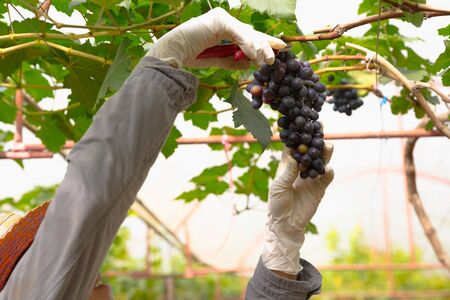 grape fruit: Farmer in his vineyard checking and protecting his products, grape fruit in Farm and product for wine