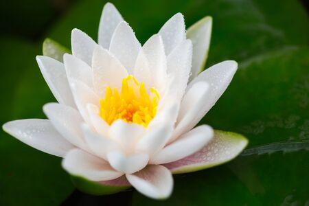 Beautiful lotus flower in pond Stock Photo
