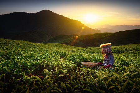 Sunrise over Sungai Palas tea plantation in Cameron Highlands with child girl tribal , Pahang, Malaysia photo