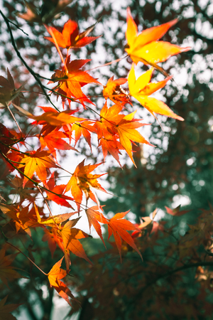 Autumn maple leaves background Фото со стока