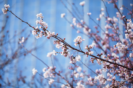 Closeup cherry blossoms and building Stok Fotoğraf
