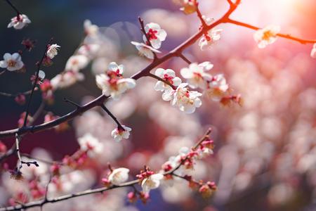 Closeup cherry blossoms Фото со стока - 122104492