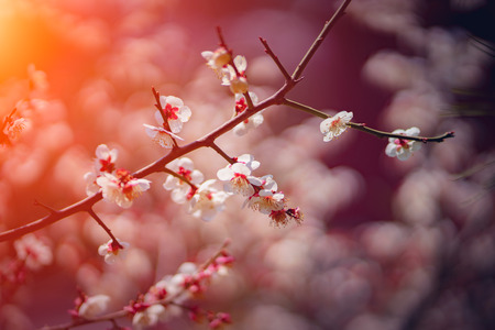 Closeup cherry blossoms