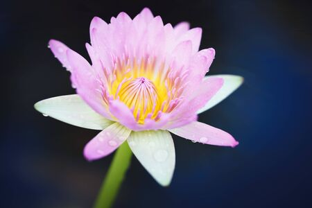 Pink water lily or lotus flower in pond