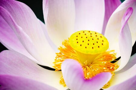 Close-up of lotus flower on the pond
