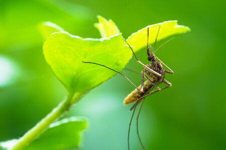 Mosquito closeup in nature