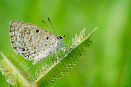 Beautiful small butterflies sitting on a branch of heather In a morning dew Standard-Bild