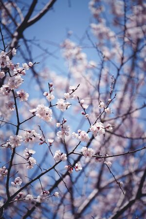 Closeup cherry blossoms with blue sky in background Standard-Bild - 145670201