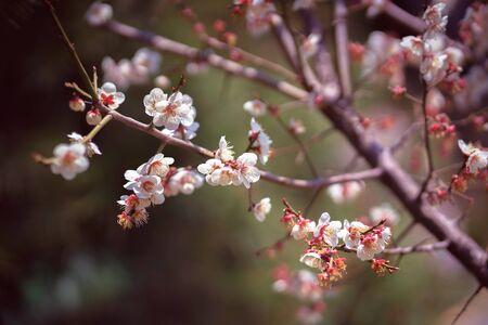 Closeup cherry blossoms