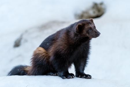 wolverine: Wolverine sitting down