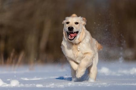 Golden Retriever puppie running in the snow photo
