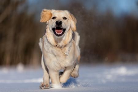 Running Golden Retriever in the snow photo
