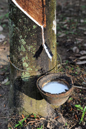Tapping rubber from a tree in South of Thailand Stock Photo - 9228046