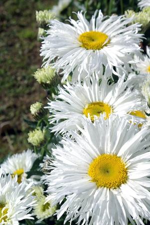 flor: Ramo de Margaritas Gigante