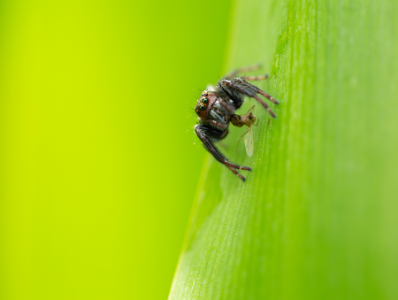 Insect world photograph,spider are hanging on green leaf and eating the bait it catches with blurred nature green background