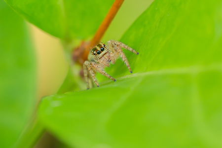 Macro photography,jumping spider waiting to catch on green leaves