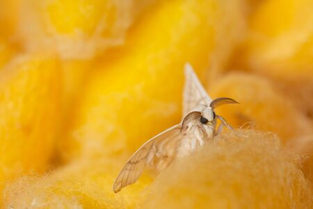 Close-up silkworm moth on many yellow cocoons background