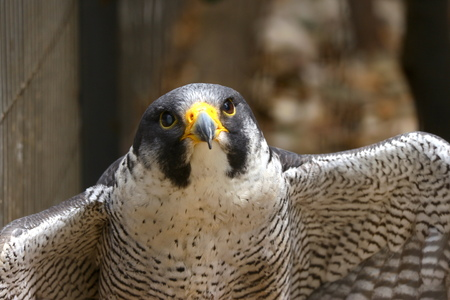 Close up on a small falcon with hunter eyes