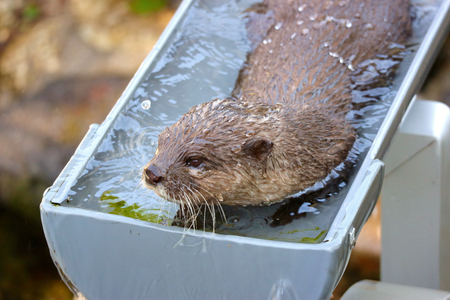 close up on a cute otter that playing water on the pipe Stock Photo