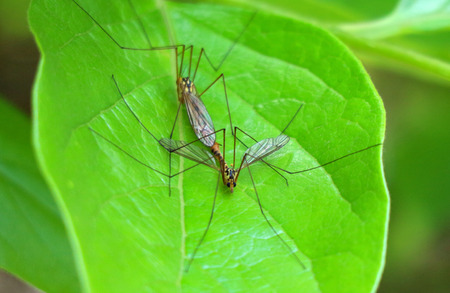 close up on two hybridizing mosquitoes on green leaf.