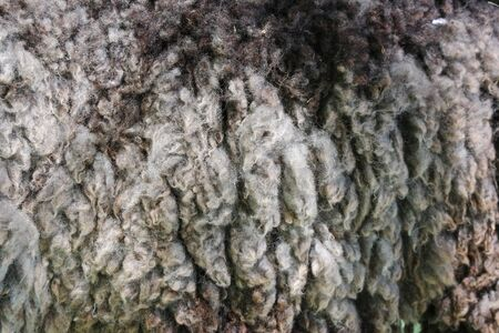 hircus: close up on hircus capra fur background