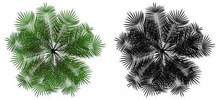 subtropical plants: top view of young palm tree isolated on white background with alpha mask