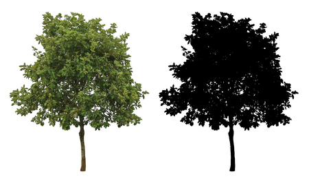 a natural green tree with alpha mask isolated on white background.