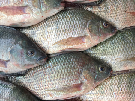 fresh tilapia fishes sorted in the market. 写真素材