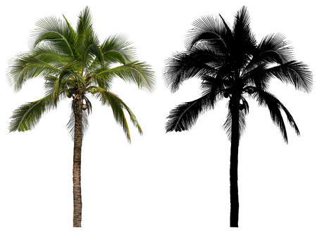 A high and tall coconut palm tree with black alpha mask isolated on white background.