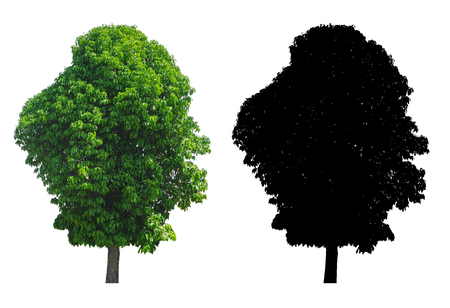 A big high green leaves tree with black alpha mask isolated on white background.