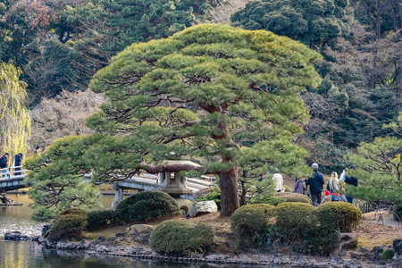2017 MARCH 18. TOKYO JAPAN. A big Japanese bonsai pile tree with tourist at SHINJUKU GYOEN national garden.