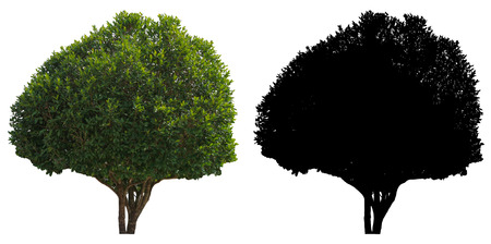 natural green leaves tree with black alpha mask isolated on white background.