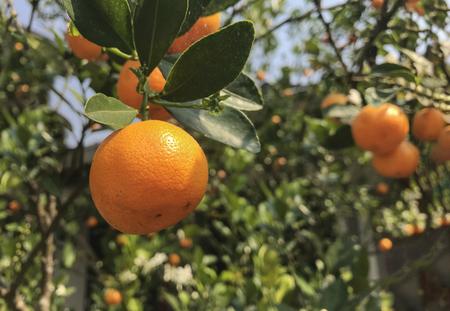 small harvesting sour taste orange type from oragnic rural farm. Stok Fotoğraf - 123085302